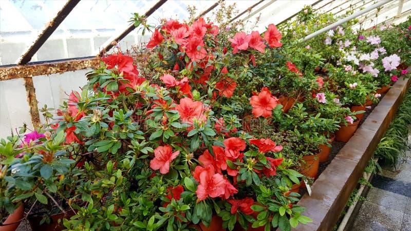 Зацветая азалии в ботаническом саде стоковое фото rf