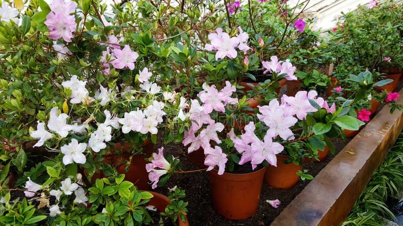 Зацветая азалии в ботаническом саде стоковые фото