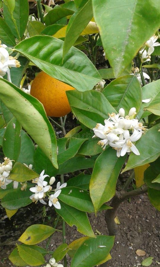 Зацветая апельсин стоковые изображения