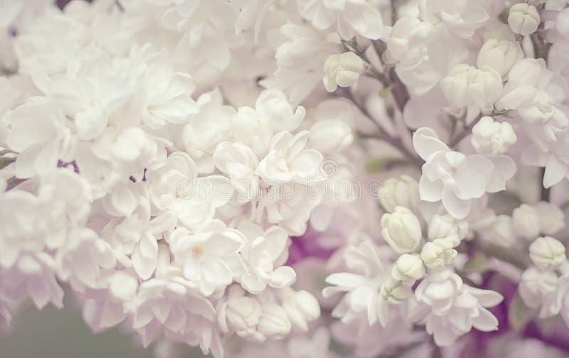 Зацветая белая сирень цветет крупный план стоковое фото