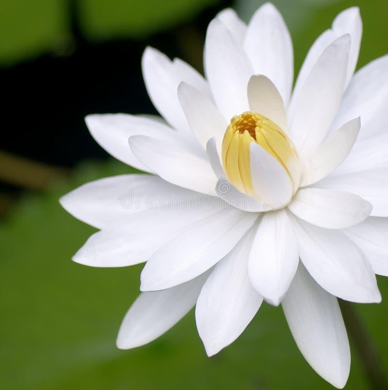зацветая белизна воды лилии цветка стоковое изображение