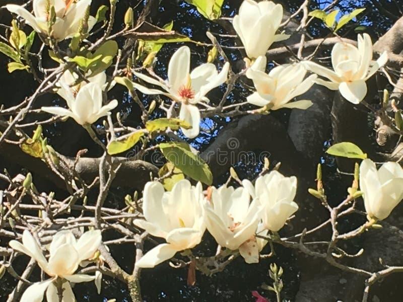 Зацветая белые магнолии стоковые изображения rf