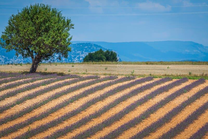 зацветая бесконечная европа fields valensole Провансали плато лаванды Франции цветка надушенное рядками Valenso стоковые фото