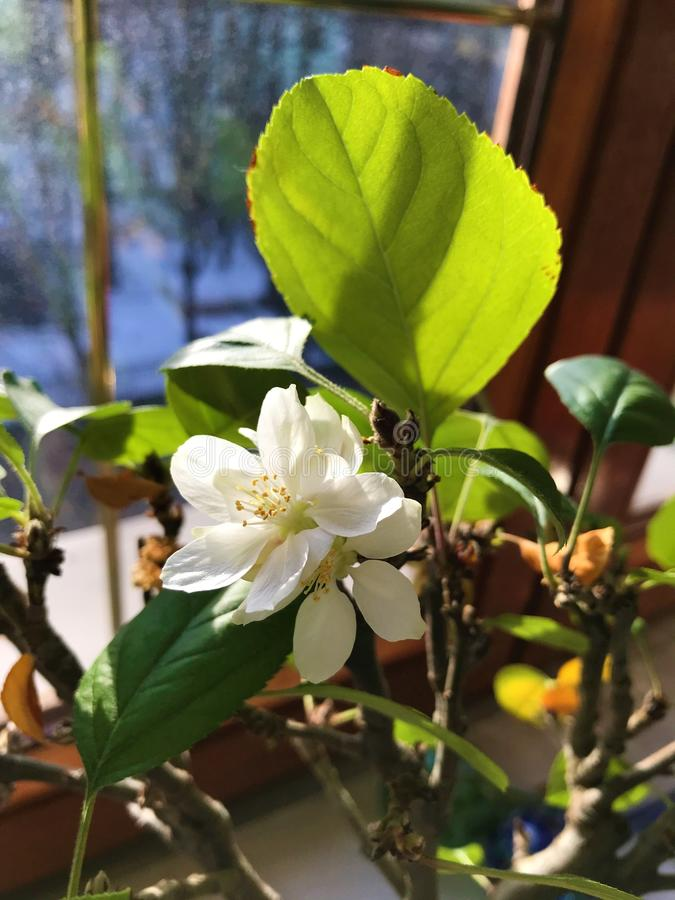 Зацветая бонзаи яблони на окне стоковая фотография