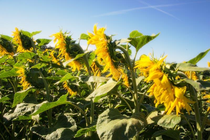 Зацветая большие заводы annuus подсолнечника солнцецветов на поле в временени Цветя яркая желтая предпосылка солнцецветов стоковая фотография