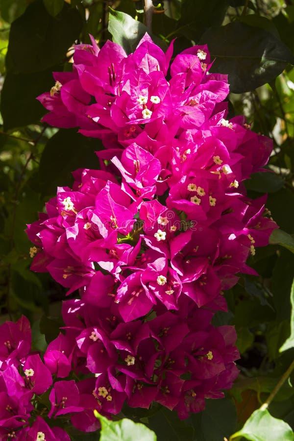 Зацветая бугинвилия стоковое изображение
