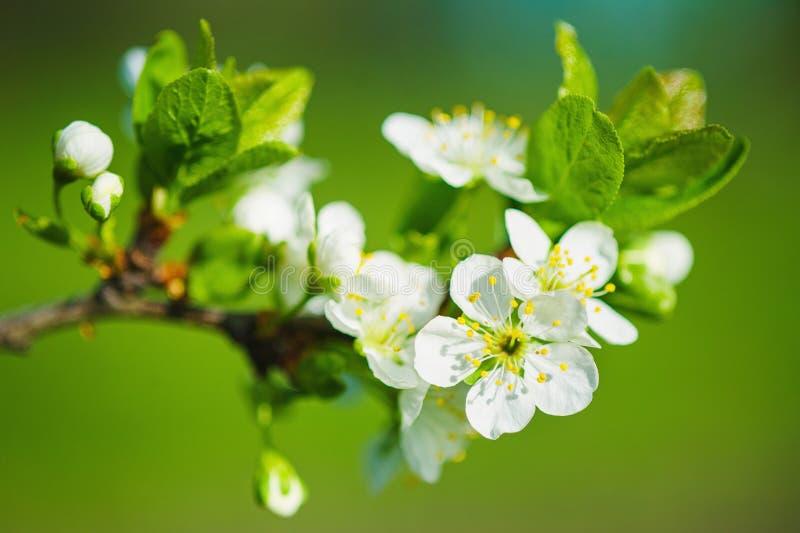 зацветая вал вишни ветвей стоковая фотография