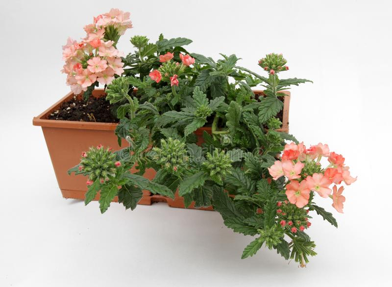 Зацветая вербена цветет в коробке цветка изолированной на белой предпосылке Цветочный узор, предпосылка цветков стоковое фото rf