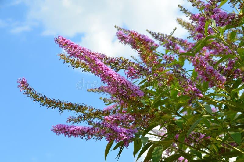 Зацветая ветви сирени на голубом небе стоковая фотография rf