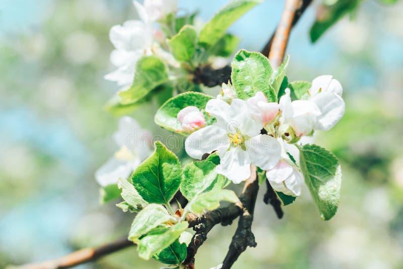 Зацветая ветви яблони с белыми цветками в саде плода против голубого неба стоковые фото