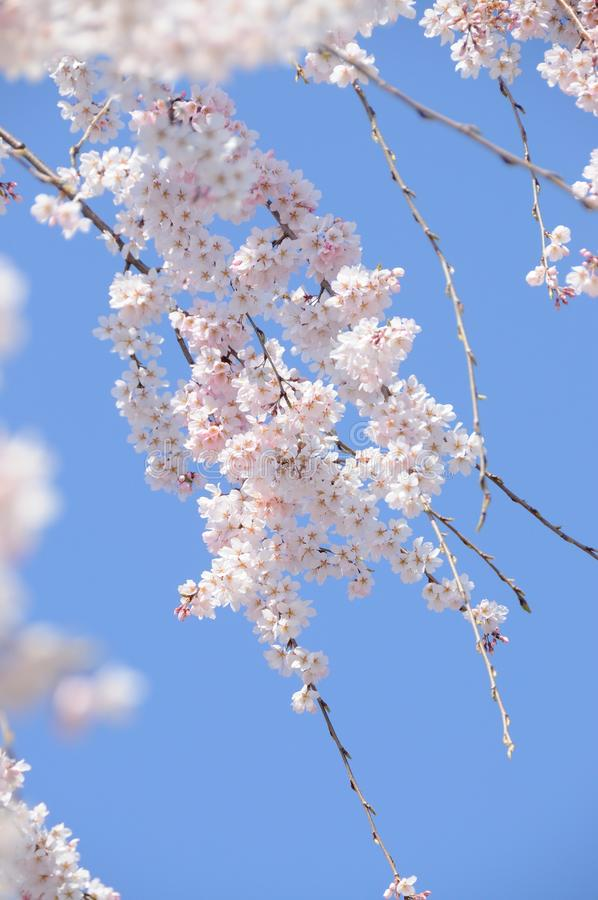 Зацветая ветвь вишневого цвета перед голубым небом стоковые фотографии rf