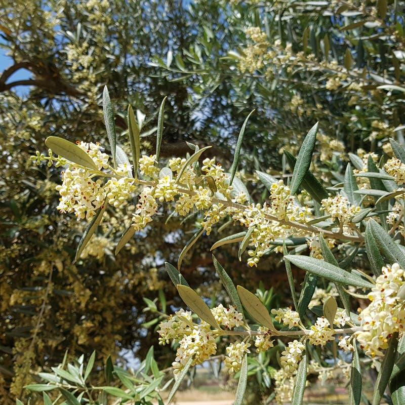 Зацветая ветвь оливкового дерева стоковое фото