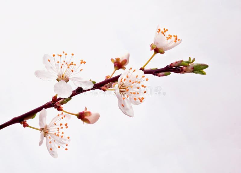 Зацветая ветвь Сакуры. стоковые изображения rf