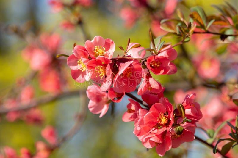 Зацветая ветвь с цветками шарлаха айвы стоковые фотографии rf