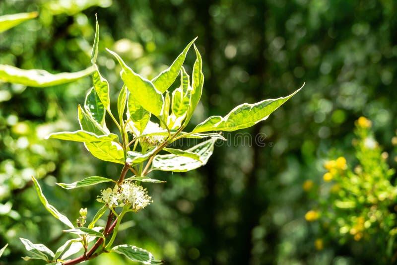 Зацветая ветвь variegated Cornus alba Elegantissima или Swidina кустарника белых на естественной предпосылке bokeh сада стоковые фото