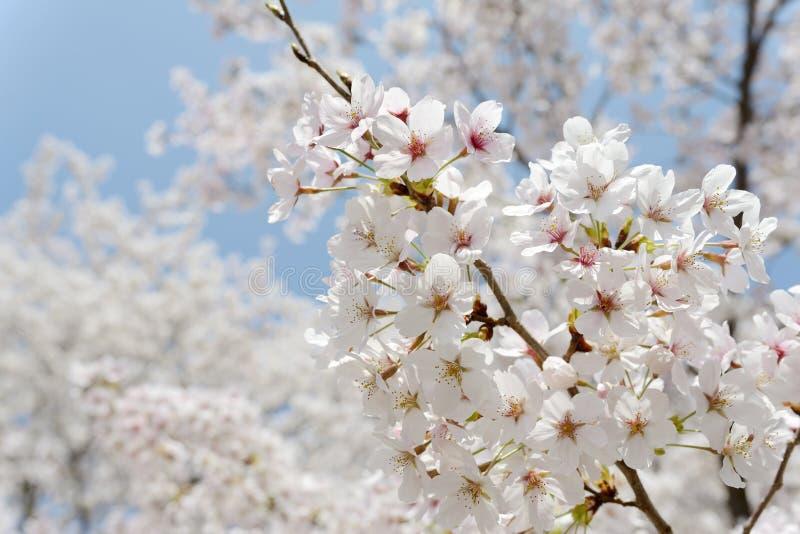 Зацветая вишневое дерево стоковая фотография