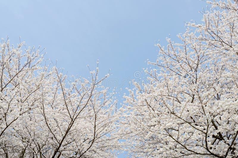 Зацветая вишневое дерево стоковое фото rf