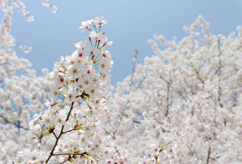 Зацветая вишневое дерево стоковое фото