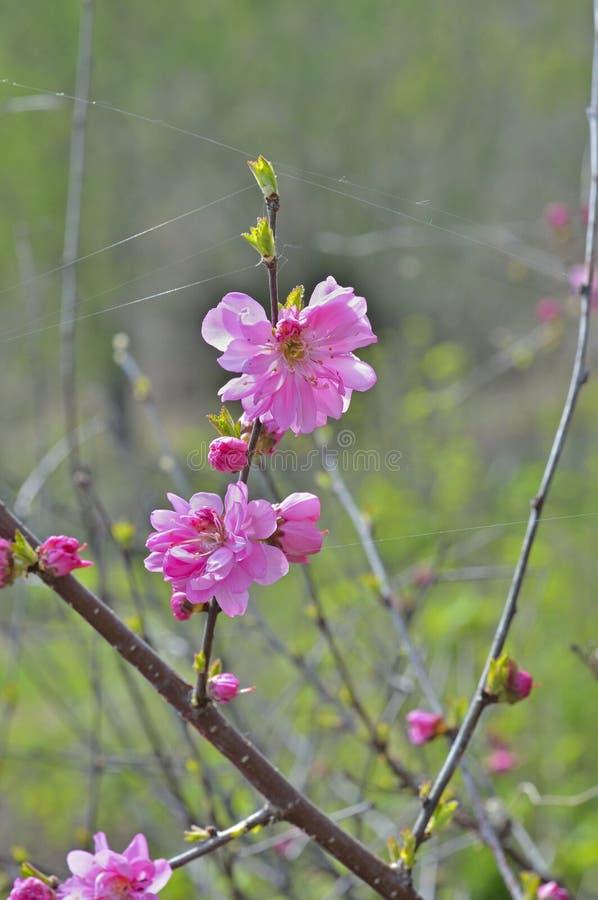 Зацветая вишневое дерево 6 стоковые фото