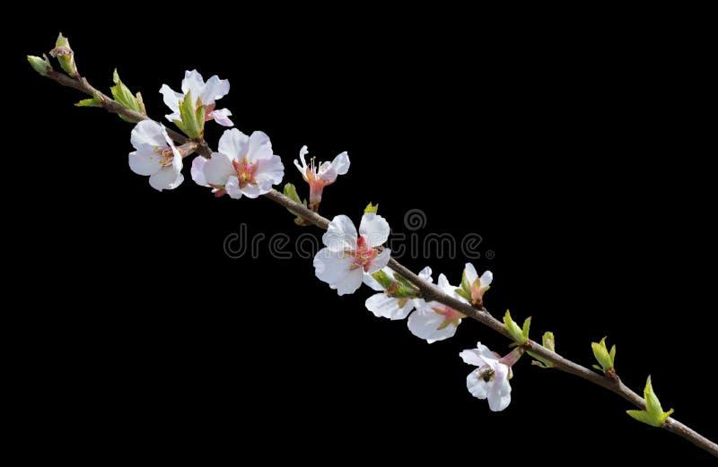 Зацветая вишневое дерево 20 стоковые изображения rf