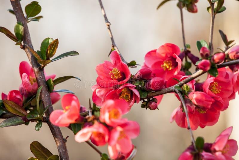 Зацветая вишневый цвет в мае стоковое фото rf