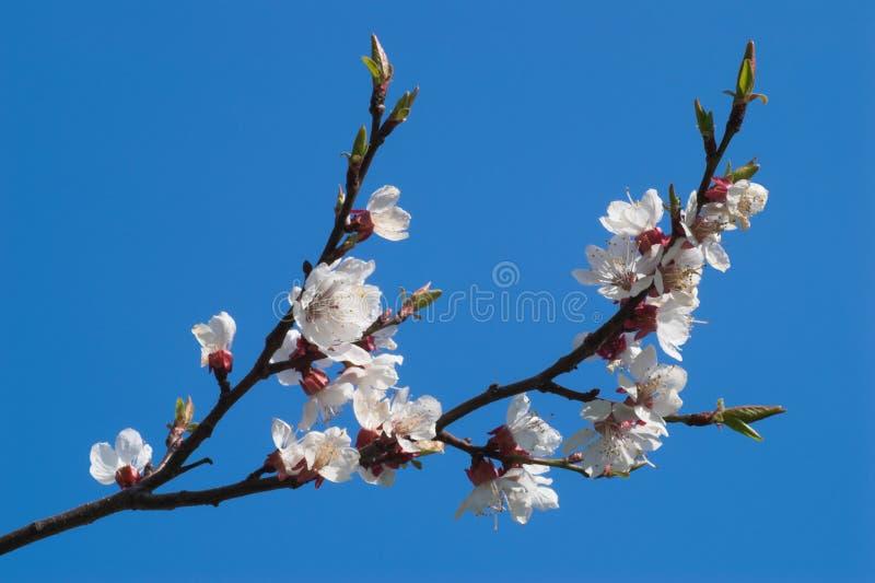 зацветая вишня ветви сверх стоковое фото