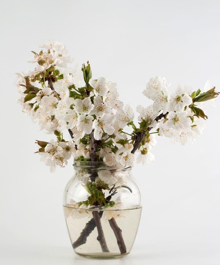 зацветая вишня ветви стоковая фотография rf