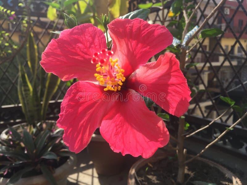 Зацветая влюбленность красной розы стоковые изображения