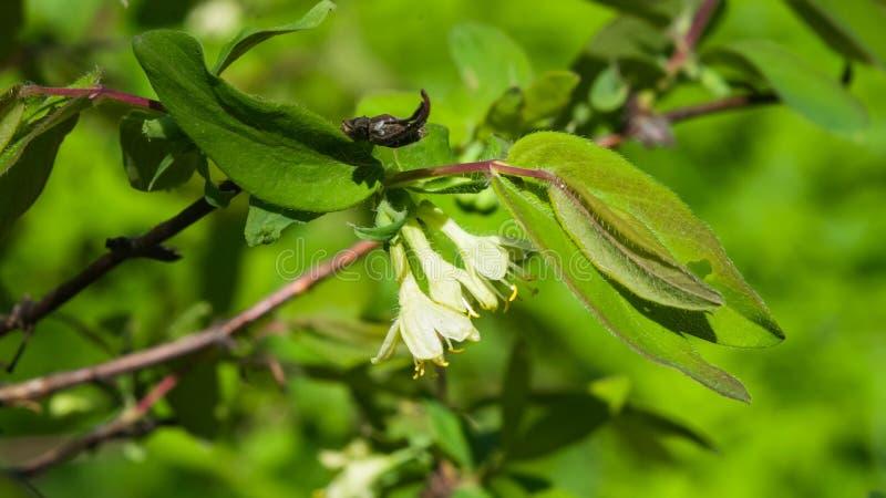 Зацветая голубой каприфолий цветет на ветви с макросом предпосылки bokeh, селективным фокусом, отмелым DOF стоковое фото