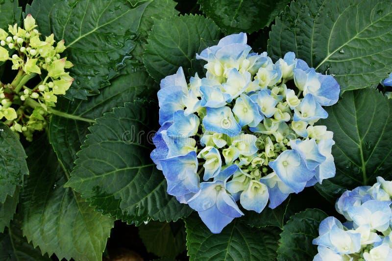 Зацветая голубые цветки гортензии с сочными зелеными листьями стоковое фото