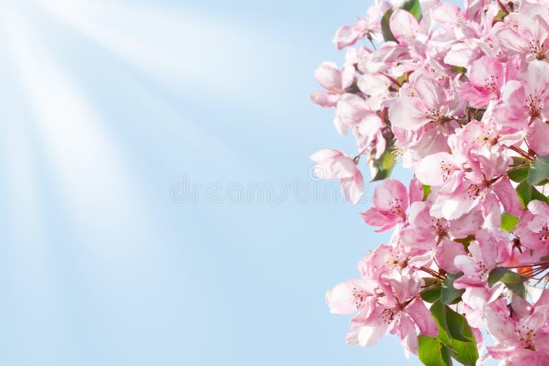Зацветая граница ветвей яблони, белые и розовые цветки и зеленые листья на конце предпосылки лучей голубого неба и солнца вверх стоковые фотографии rf