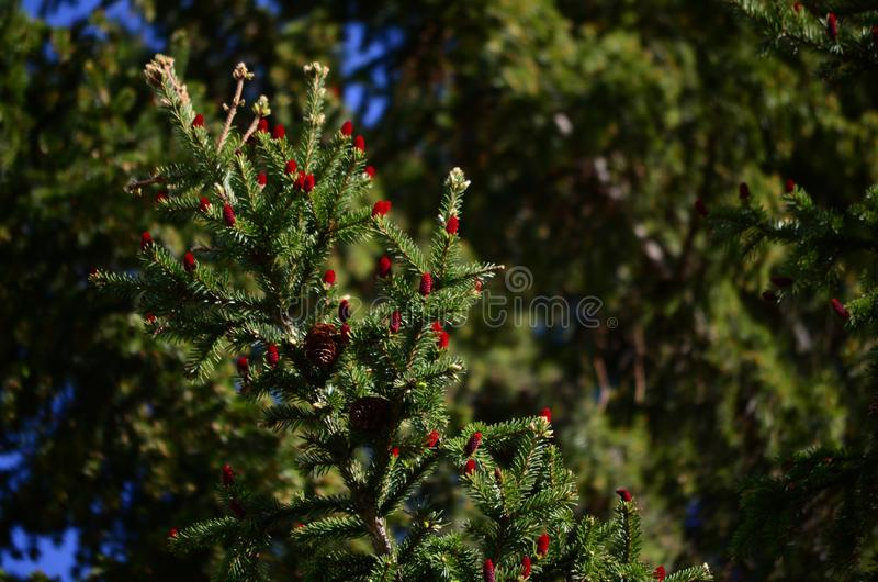 Зацветая дерево, красные конусы ели, плоды съело стоковые фотографии rf