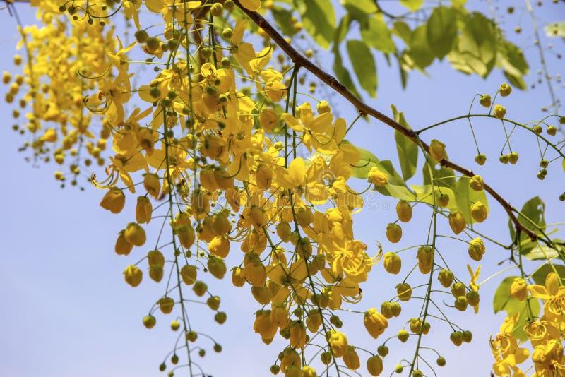 Зацветая дерево с желтыми цветками и зелеными листьями на предпосылке голубого неба Крупный план цветения дерева стоковые фотографии rf