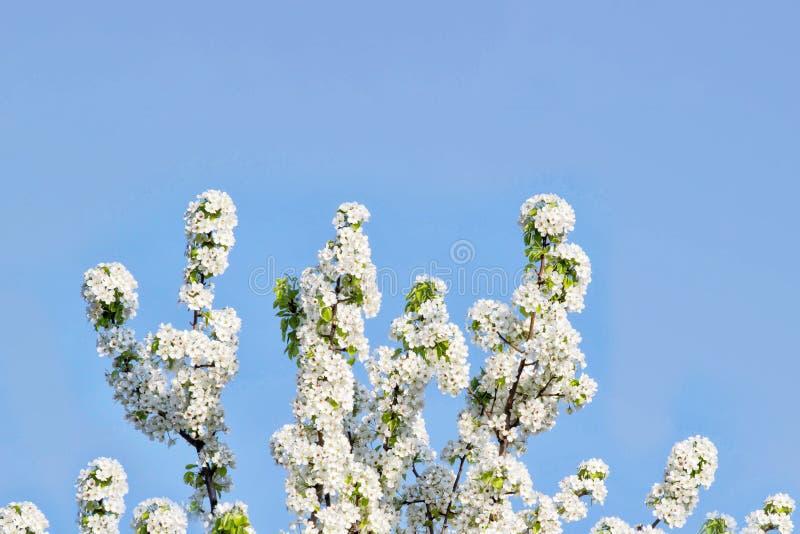Зацветая дерево с цветками на солнечности утра сфокусируйте мягко Предпосылка цветения весны скопируйте космос стоковые изображения rf