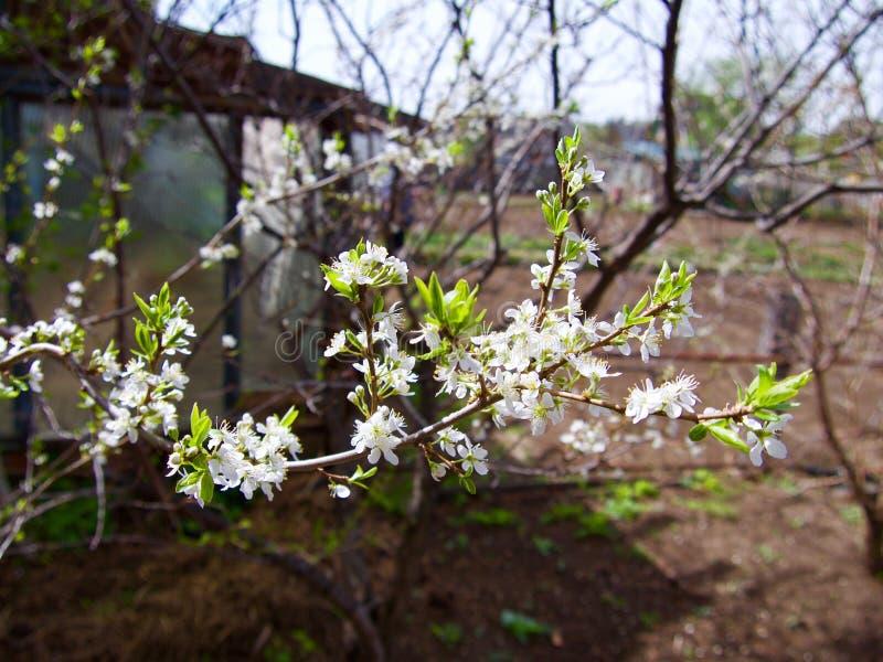 Зацветая деревья plummon с розовыми цветками над красочной загородкой Сад переулка яблони в Tulun перед наводнением, Сибире, Росс стоковое изображение