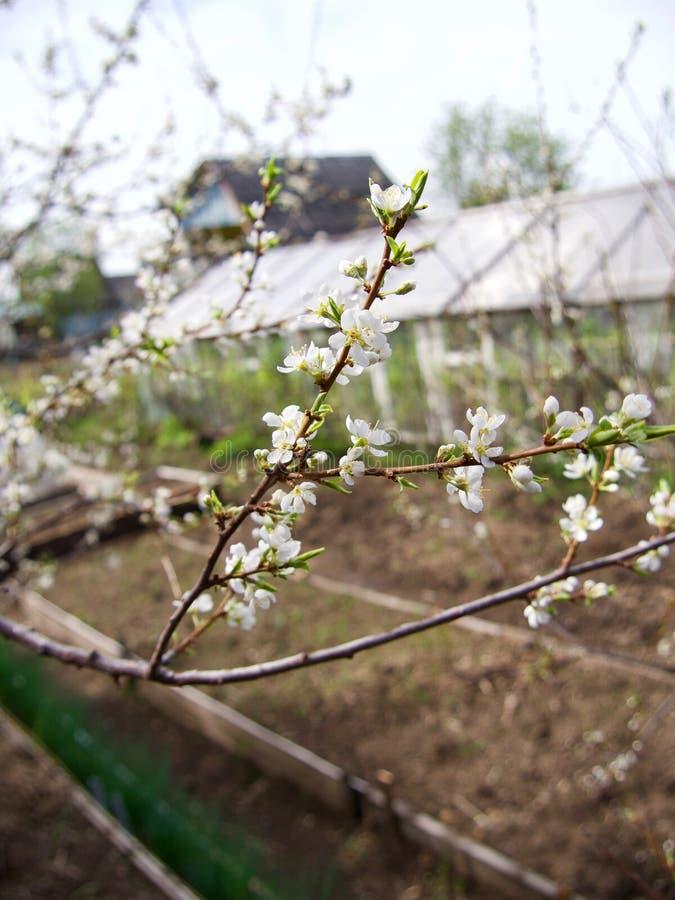Зацветая деревья plummon с розовыми цветками над красочной загородкой Сад переулка яблони в Tulun перед наводнением, Сибире, Росс стоковое фото