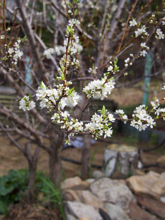 Зацветая деревья plummon с розовыми цветками над красочной загородкой Сад переулка яблони в Tulun перед наводнением, Сибире, Росс стоковое фото rf