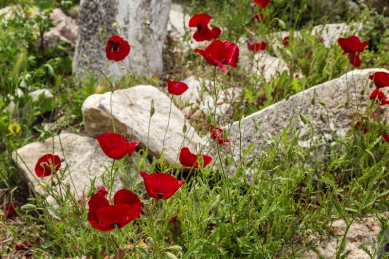 Зацветая дикие маки в поле среди камней ( стоковые изображения rf
