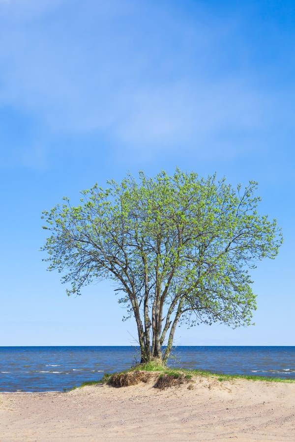 Зацветая дерево на seashore стоковое изображение rf