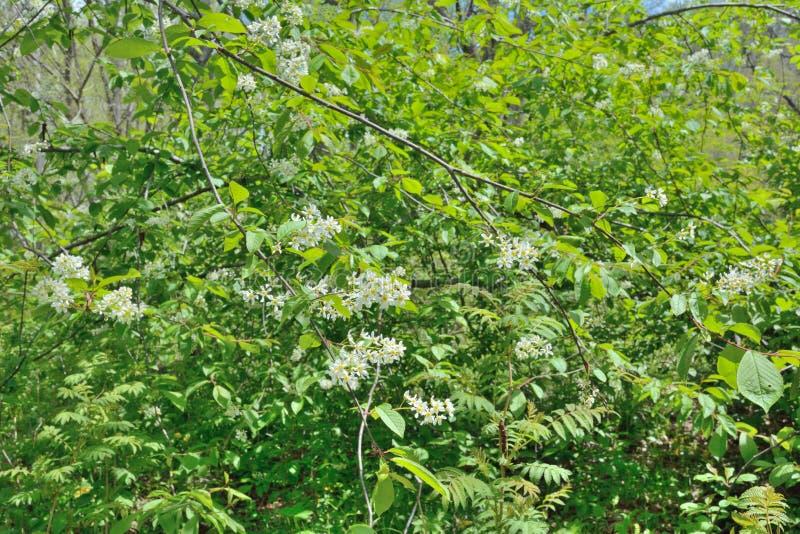 Зацветая дерево 3 птиц-вишни стоковые изображения rf