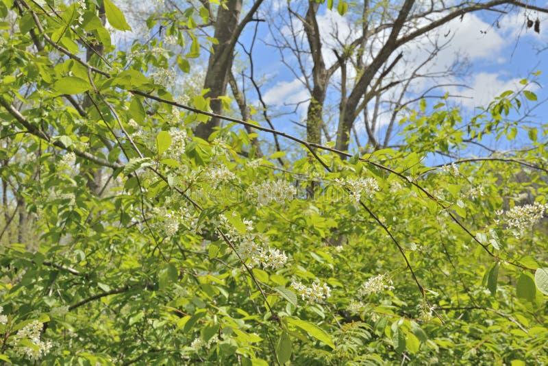 Зацветая дерево 2 птиц-вишни стоковые фотографии rf