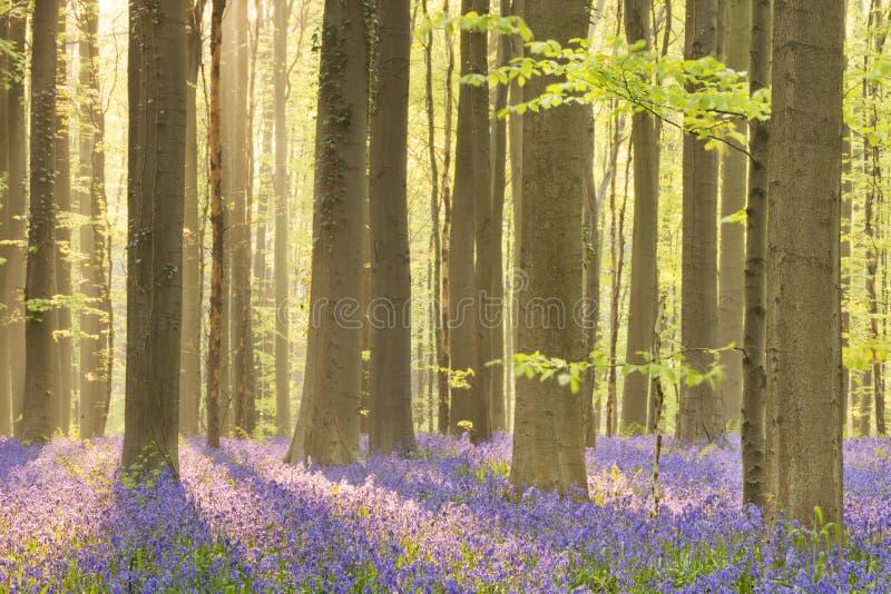 Зацветая лес bluebell в солнечном свете утра стоковая фотография rf