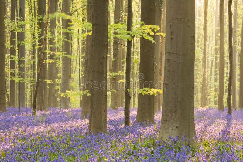Зацветая лес bluebell Hallerbos в Бельгии стоковое фото rf