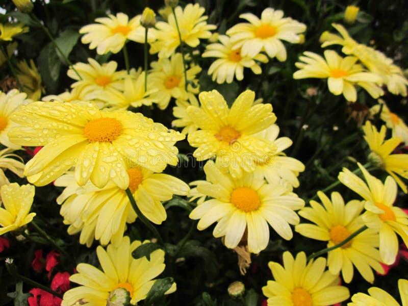 Зацветая желтые цветки освежая утро стоковая фотография