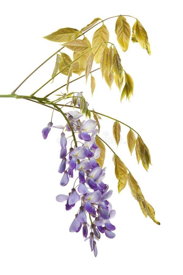 Зацветая изолированная ветвь floribunda глицинии стоковые фото