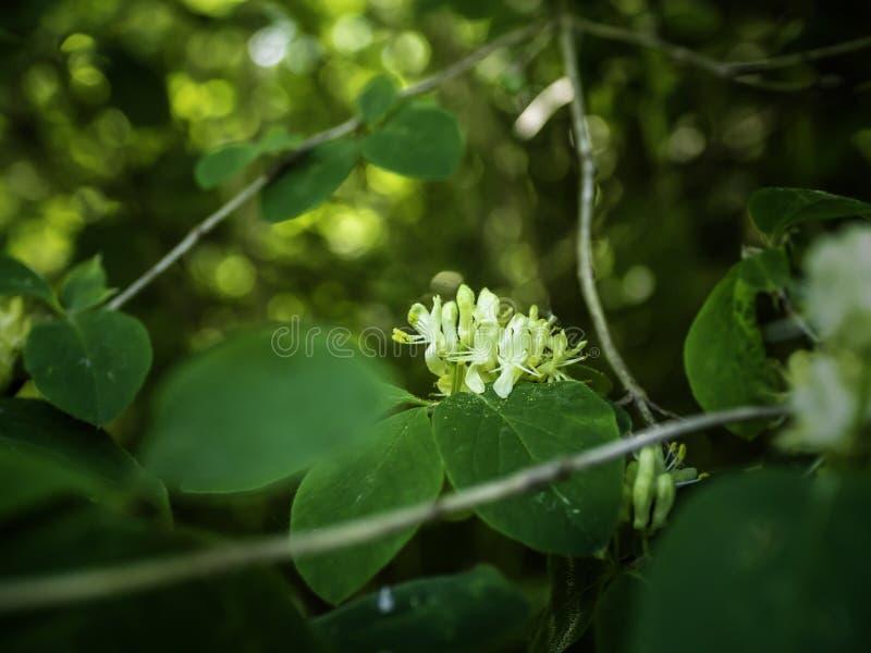 Зацветая каприфолий мухы, xylosteum Lonicera стоковая фотография rf