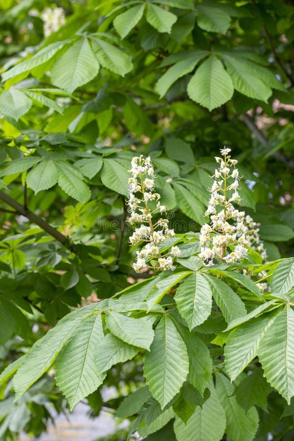 Зацветая каштан, белая свеча конусов цветков каштана, завязь цветков и листьев плода конского каштана стоковые изображения rf