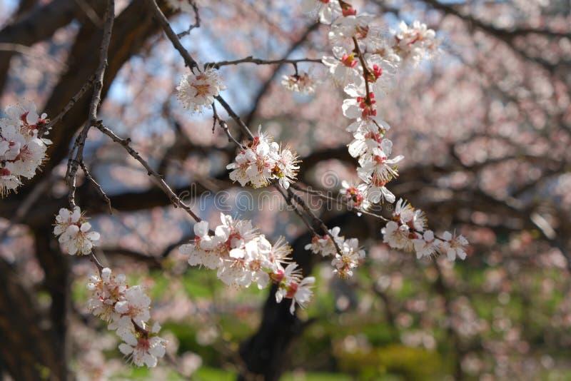 Зацветая конец-вверх ветвей вишневого дерева Дерево предусматриванное с небольшими белыми и пурпурными florets стоковые изображения