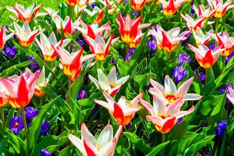 Зацветая красные цветки тюльпана и фиолетовые крокусы Изображение макроса, малая глубина поля стоковые изображения
