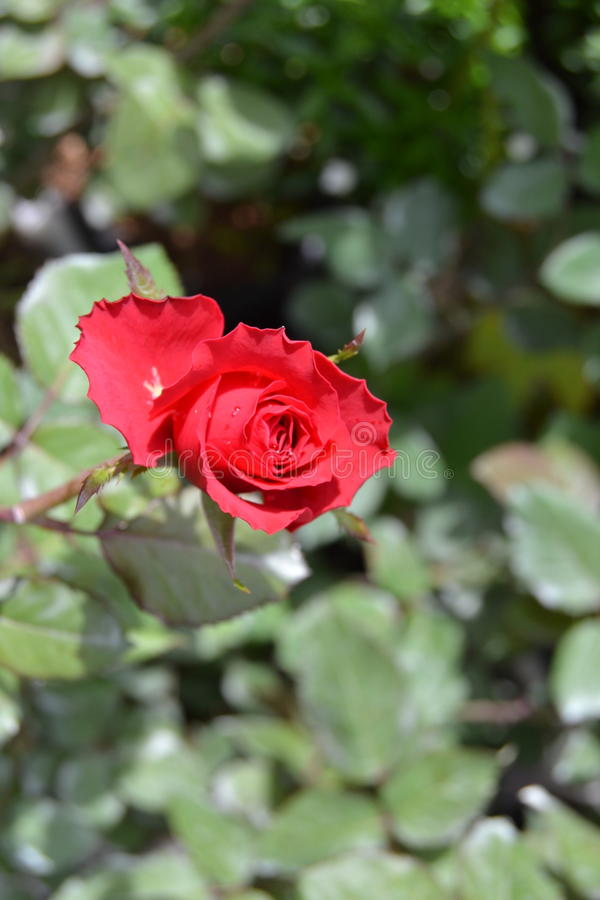 зацветая красный цвет поднял стоковое фото